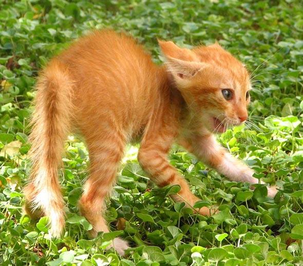 Angry Kitten orange tabby kitten