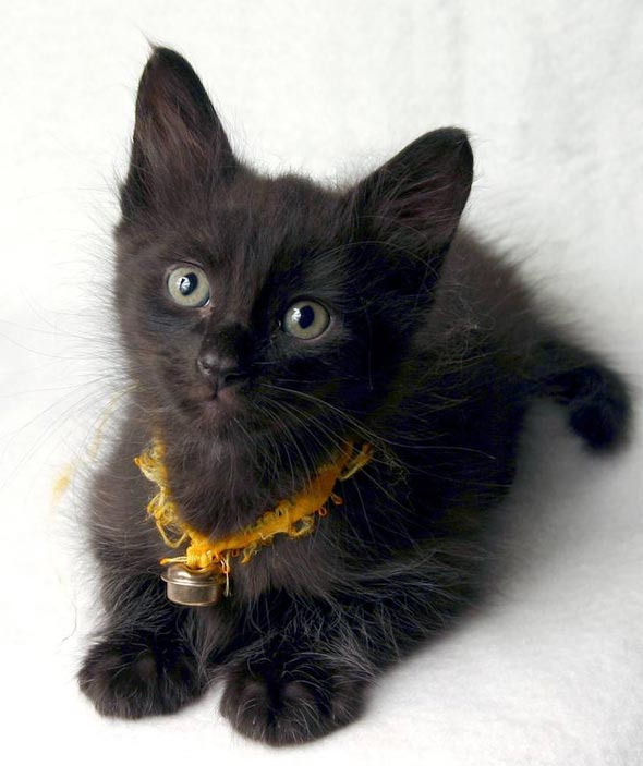 Merlín all-black kitten