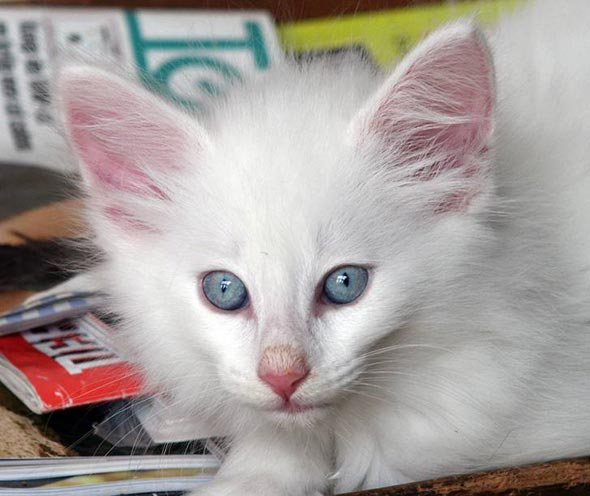 Nehalennia all-white longhair kitten