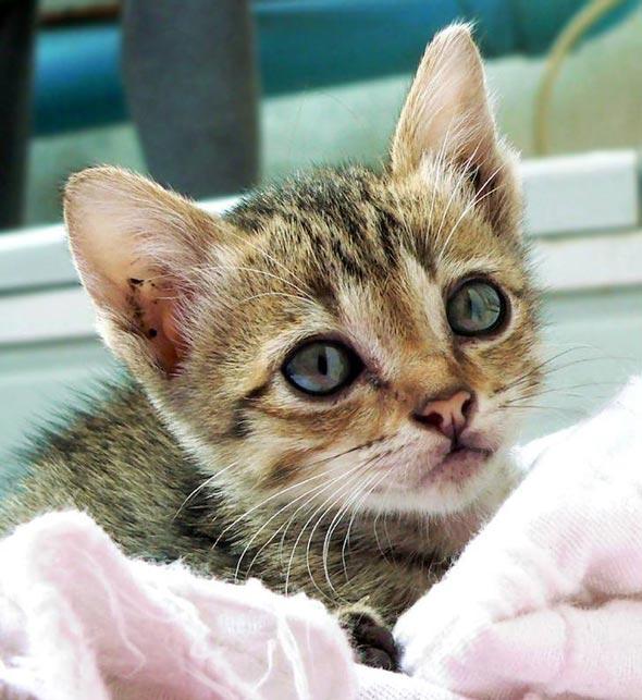 Sanshiro [5] kitten