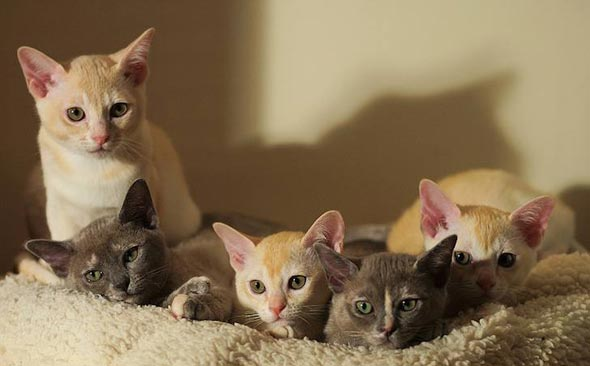 Darcy, Lizzie, Lottie, Kitty, and, Bingley [5]  Burmese kitten