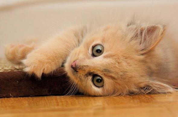 FURgie [5] kitten