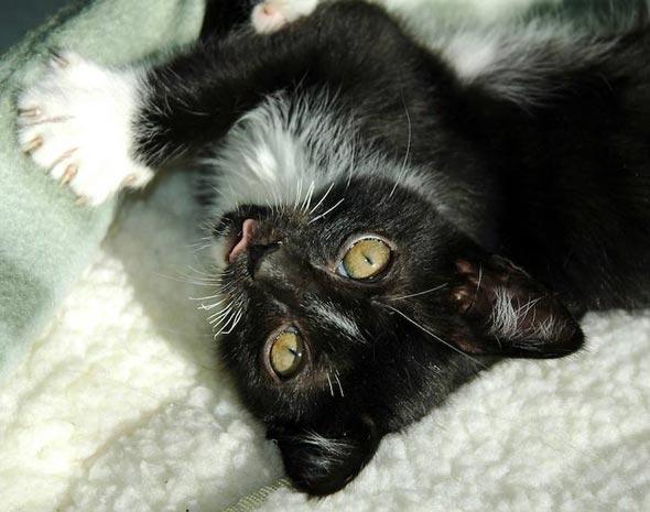 Anabelle [5]  kitten
