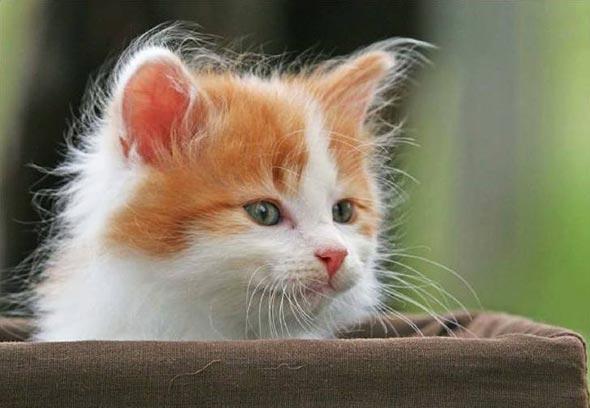 Toby [5]  kitten