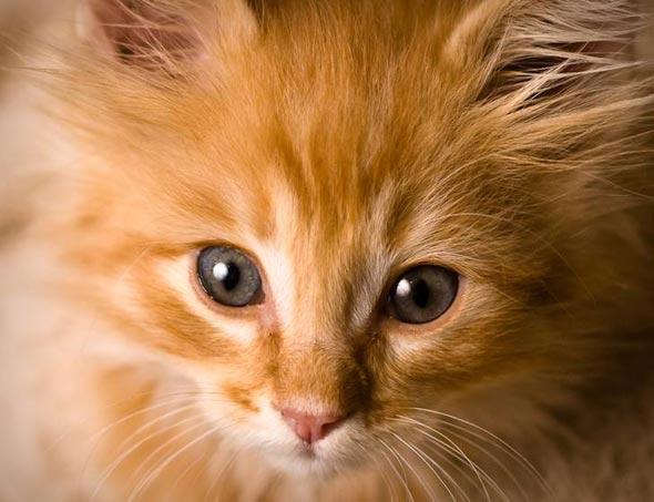 Luey [3] kitten