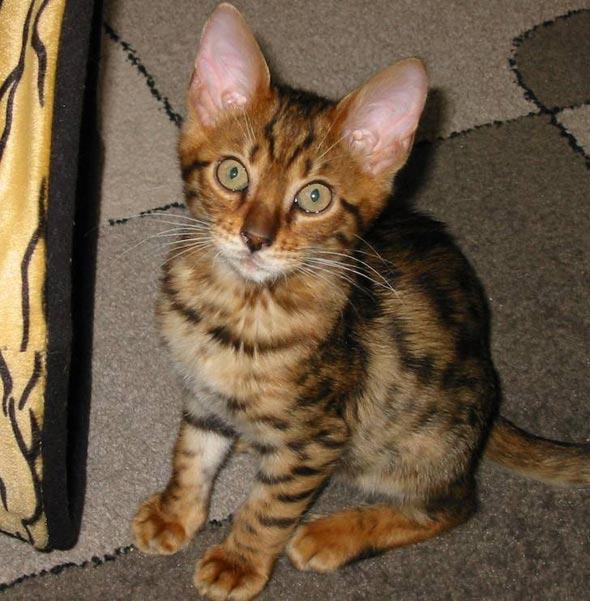 Ziggy [3] kitten