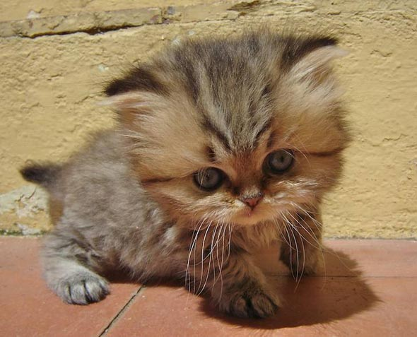 Cachou Persian kitten