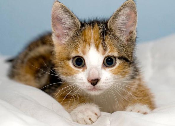 Purdey [5]  kitten