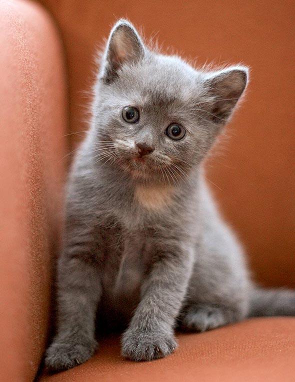 Mrs. Peel [4] kitten