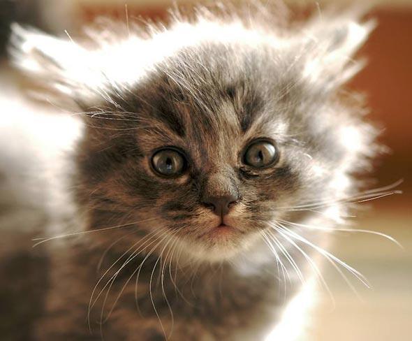 Arisha [5]  kitten