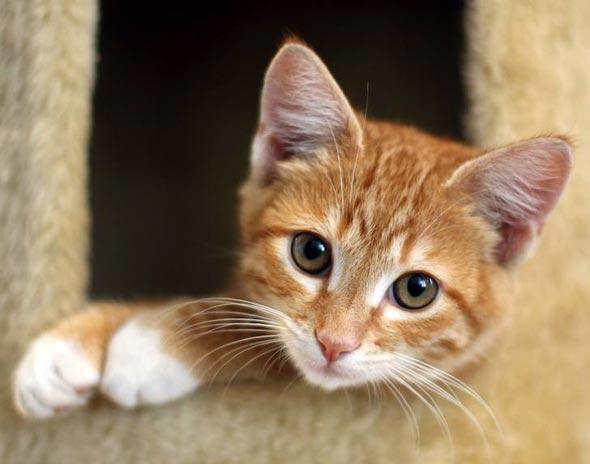 Strummer orange tabby kitten