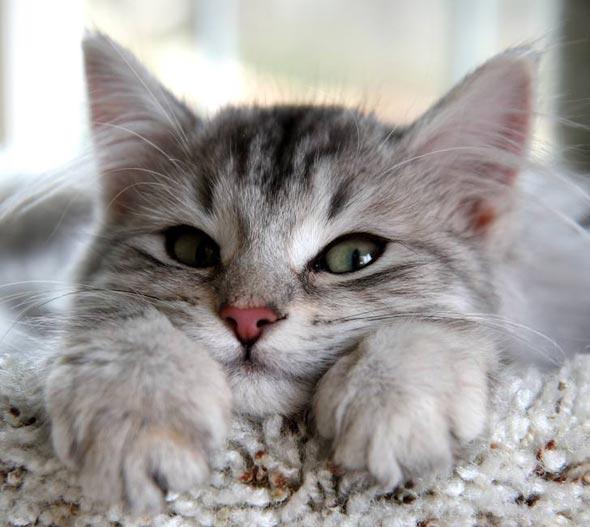 Sasha Siberian kitten