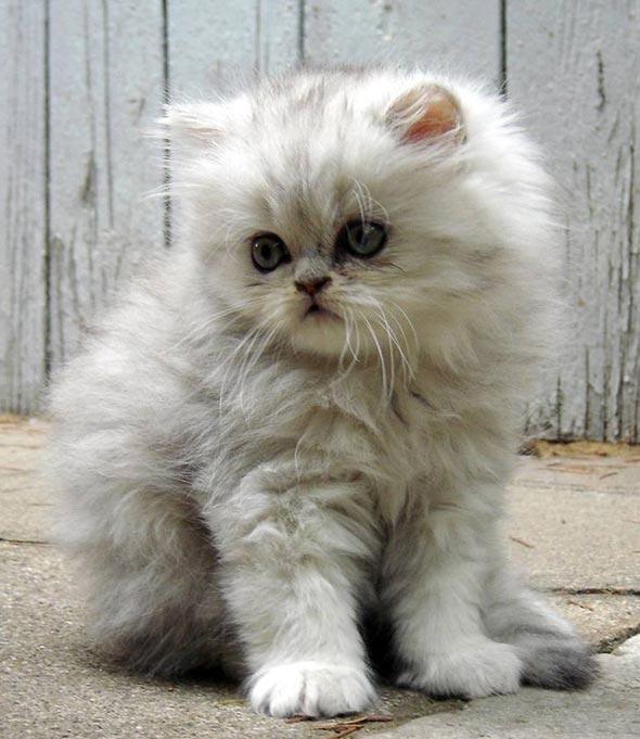 Moushi [6] kitten