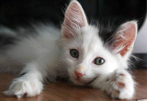 Pisicot [5]  kitten