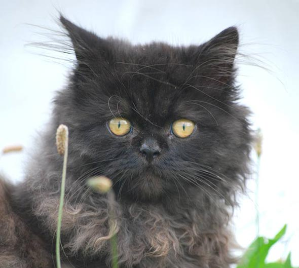 Puff all-black Persian smoke kitten