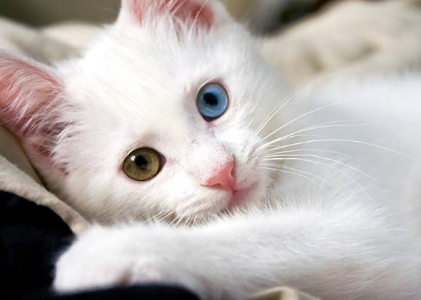 Bee (and Cookie) all-white two different eyes kitten