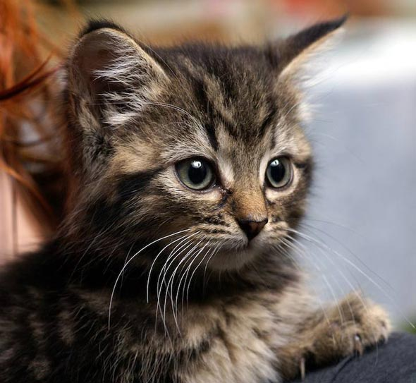 Wriggly [5] kitten