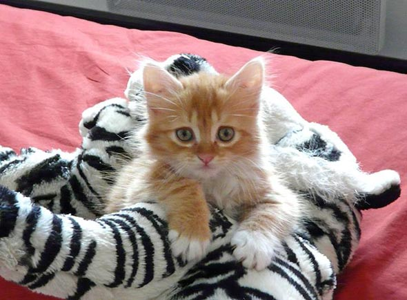 Sushi [3] kitten