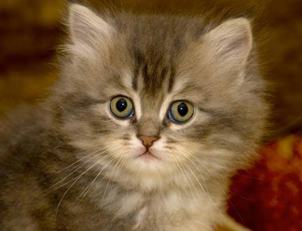 Sultan's Kitten Persian kitten