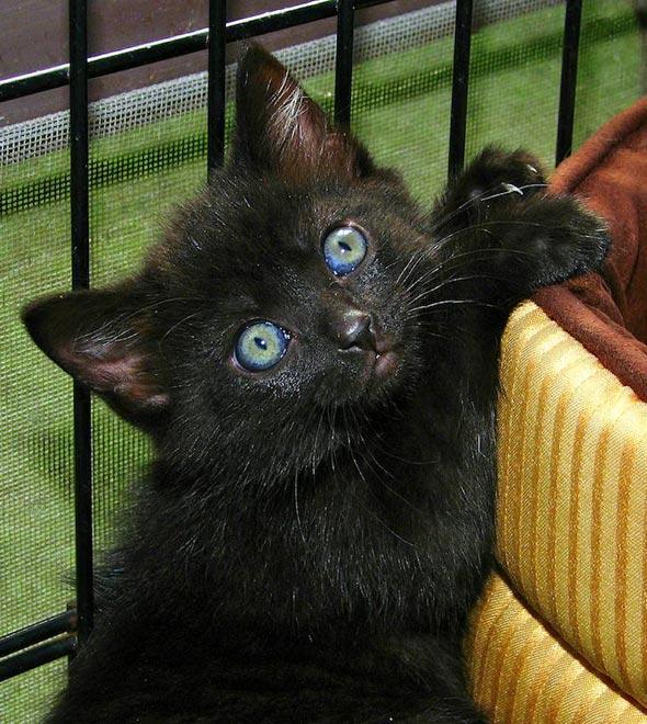 Miss Audrey Fuzzburn all-black kitten