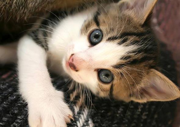 Eros tabby kitten