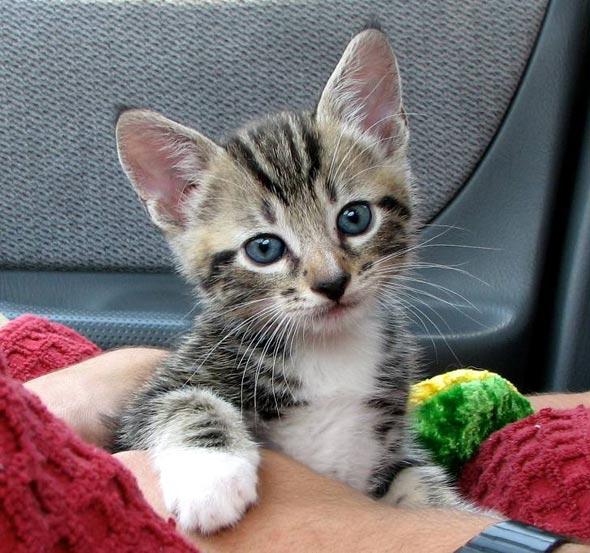 Jack Jack tabby kitten