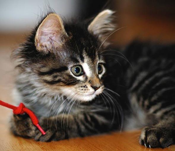 Rascal  kitten