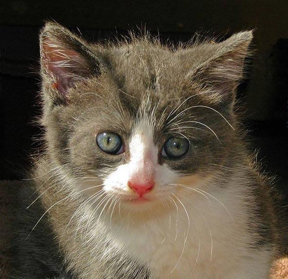Pudgie Pyewacket [5] kitten