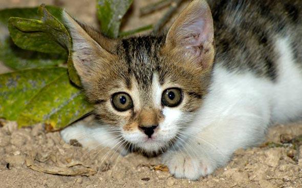 Maya [6] kitten