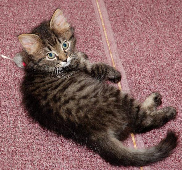 Dinah [5] kitten