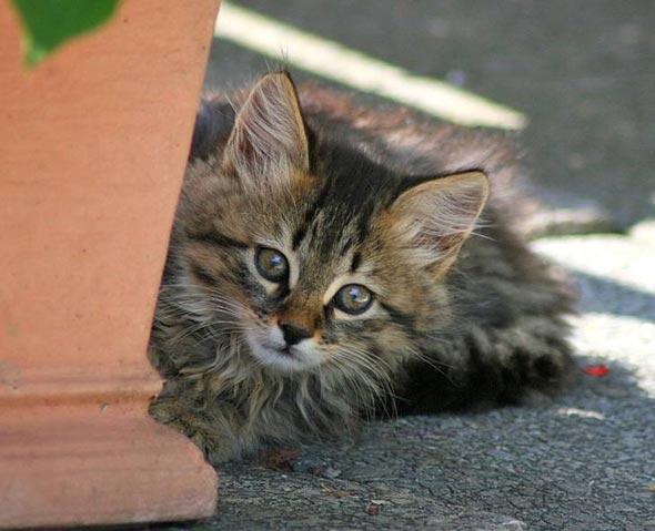 Nanny [6]  kitten