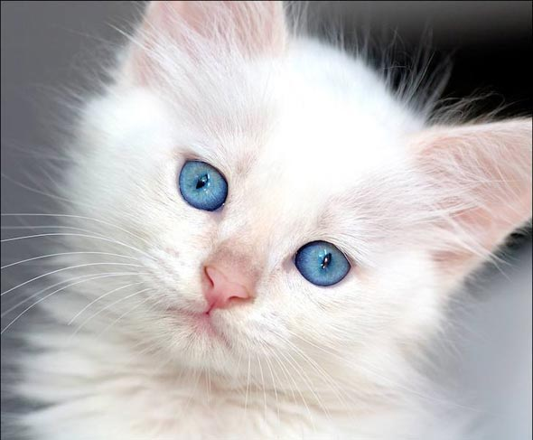 A Tale of Six Kittens Pt. 1: Marshmallow all-white kitten
