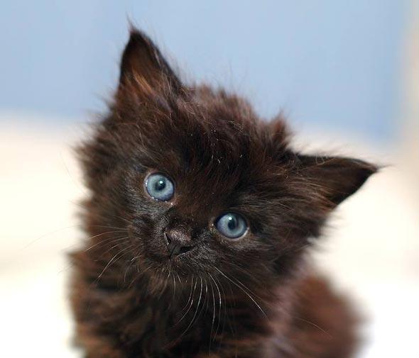 A Tale of Six Kittens Pt. 5: Blueberry Muffin [3] kitten