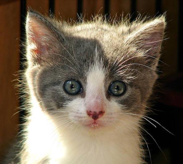 Lady Guinevere [5] kitten