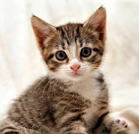 Leeloo [3] kitten