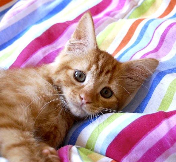 Rupert [3] kitten