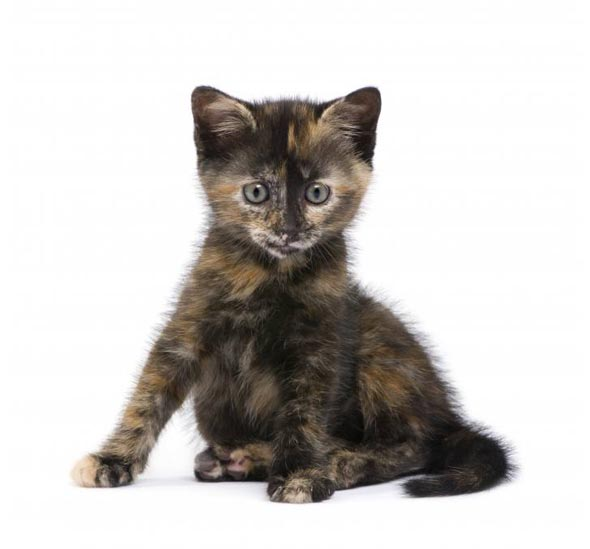 Tortoiseshell Kitten  kitten