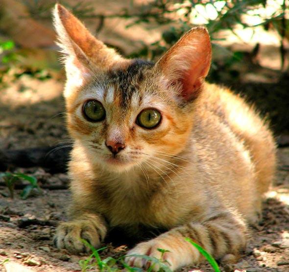 Princesa [4] kitten