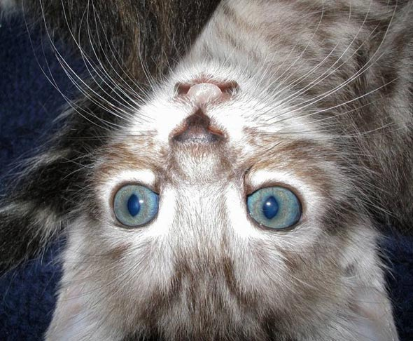 Possum's Son Jack [4] kitten