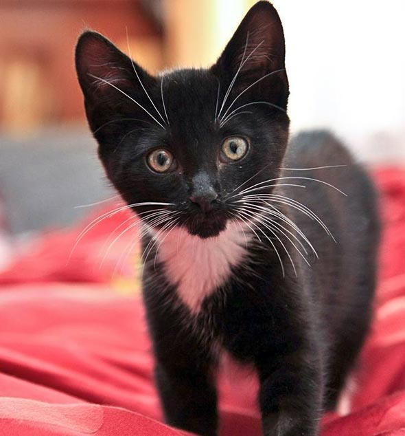 Blackie [5]  kitten