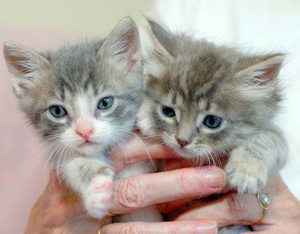 Lewis and Clark [5] kitten