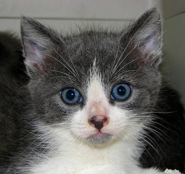 Sir Lancelot [3] kitten