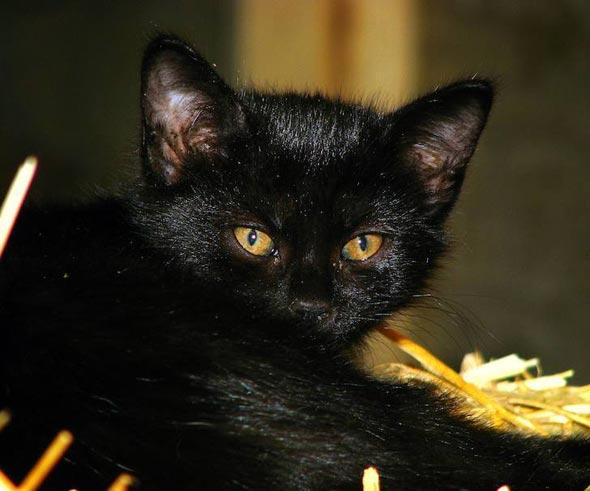 Bashful [6]  kitten