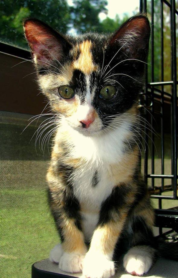 Mama-San's #1: Ivory [5] kitten