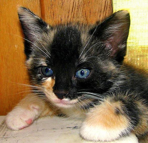 Mama-San's #2: Ebony [4] kitten