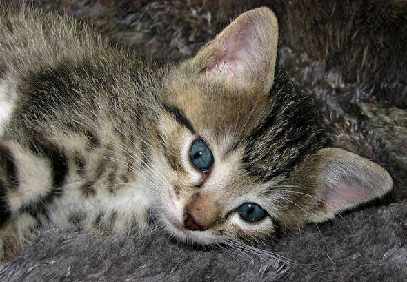 Mama-San's #3: Christopher Columbus [4] kitten