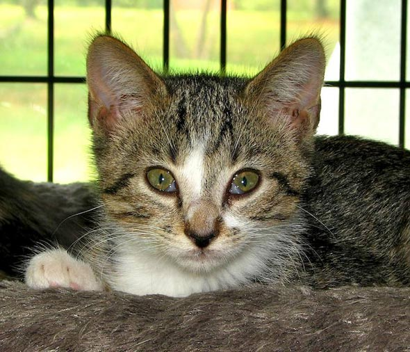Mama-San's #4: Marco Polo [4] kitten