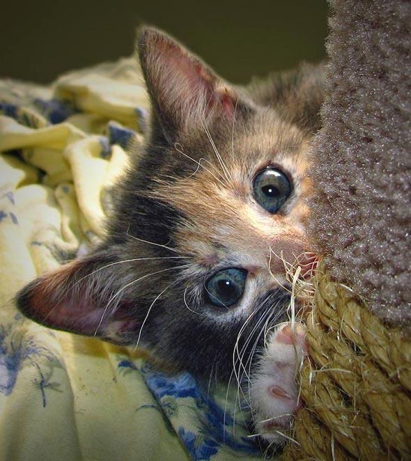 Mama-San's #5: Miss Petunia [4] kitten