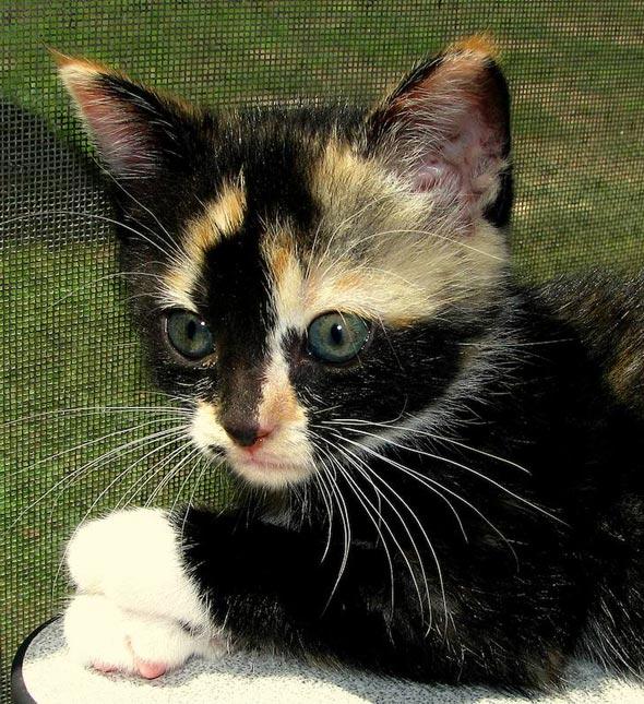 Mama San's #6: Rocky Raccoon [4] kitten
