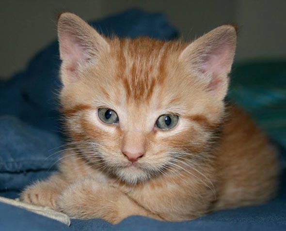 Hobbes [5] kitten